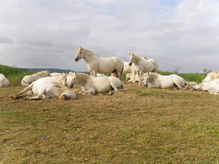 Des chevaux dans la Réserve Naturelle de l'Estuaire de la Seine