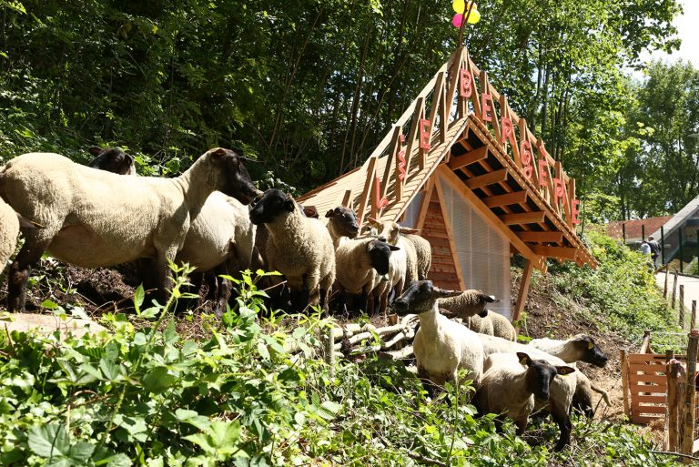 Des moutons au Fort de Tourneville