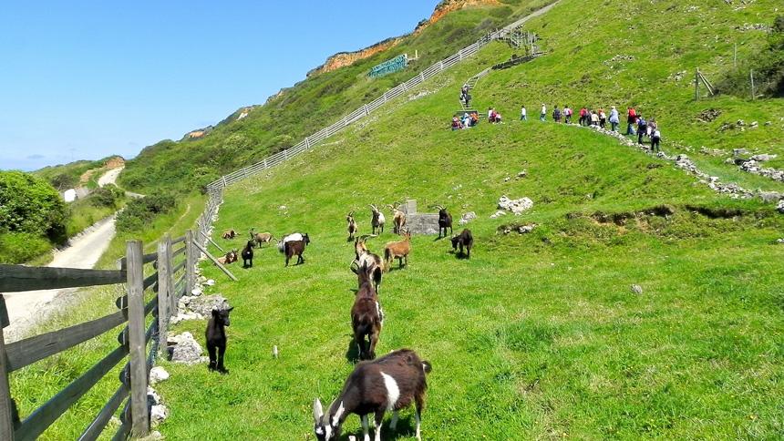 Des chèvres à Aquacaux, à Octeville-sur-Mer